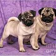 A Pug And A Pug Poster