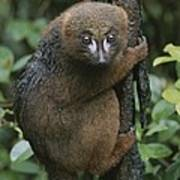 A Red-bellied Lemur Clings To A Tree Poster