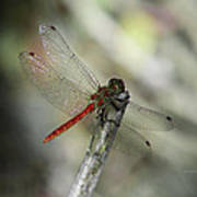 A Red Dragonfly Poster
