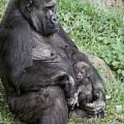 A Relaxed Western Lowland Gorilla Poster