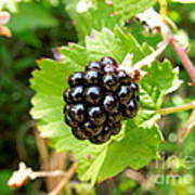A Ripe Blackberry Poster