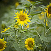 A Row Of Bright Yellow Sunflowers Grow Poster