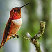 A Rufous Hummingbird Perched Poster
