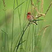 A Scarlet Grosbeak Perched On Grass Poster
