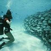 A School Of Grunts Swims By A Diver Poster