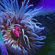 A Sea Anemone Poster