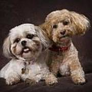 A Shihtzu And A Poodle On A Brown Poster