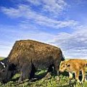 A Sow Bison Guides Her Calves On A Walk Poster