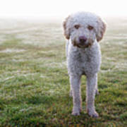A Spanish Water Dog Standing A Field Poster