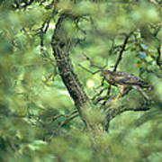 A Sparrowhawk Perches In A Tree Poster