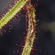 A Sundew Carnivourous Plant, Drosera Poster