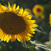 A Sunflower Bows To Its Own Weight Poster
