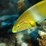 A Sunset Wrasse Swimming Poster