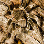 A Tarantula Living In Mangrove Forest Poster