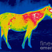 A Thermogram Of A Horse Poster