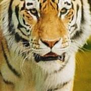 A Tiger Poster