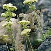 A Tiny Lynx Cub Felis Lynx Peeks Poster