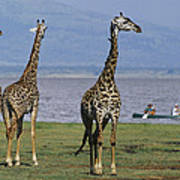 A Trio Of Giraffes Near The Edge Poster