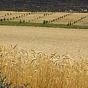 A View Of A Summer Field Of Wheat Poster