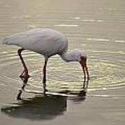 A White Ibis Probes The Mud Poster
