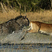 A Wildebeest And A Red Lechwe Leap Poster