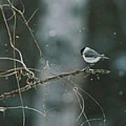 A Willow Tit Parus Montanus Perches Poster