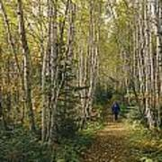 A Woman Walks Down A Birch Tree-lined Poster
