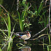A Wood Duck Reflected In Creek Water Poster