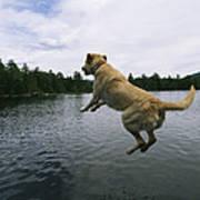 A Yellow Labrador Retriever Jumps Poster