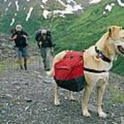 A Yellow Labrador, Wearing A Backpack Poster by Rich Reid