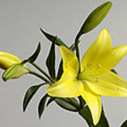 A Yellow Lily Lilium Canadense Poster