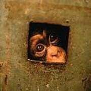 A Young Chimpanzee Held Captive Poster