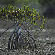A Young Mangrove Tree Poster by Klaus Nigge