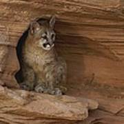 A Young Mountain Lion Rests In A Rocky Poster