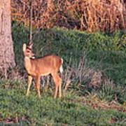 Aah Baby - Deer Poster