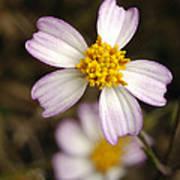 Aceitillo Flower Poster