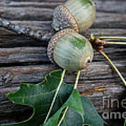 Acorns And Oak Leaves Poster