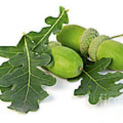 Acorns With Oak Leaves Poster