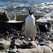 Adelie Penguin 21 Poster