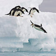 Adelie Penguin Diving Antarctica Poster