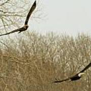Adult And Immature Bald Eagle Flying Poster