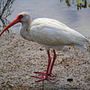 Adult White Ibis Poster