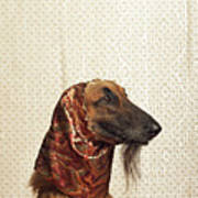 Afghan Hound Wearing Scarf Poster