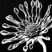 African Daisy In Black And White Poster