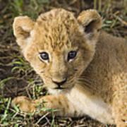 African Lion Panthera Leo Five Week Old Poster