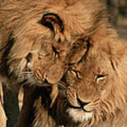 African Lion Panthera Leo Two Males, Mt Poster