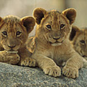 African Lion Three Cubs Resting Poster by Tim Fitzharris