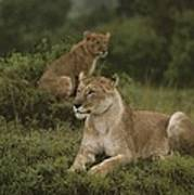 African Lionesses In Masai Mara Poster