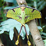 African Moon Moth 1 Poster