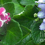 African Violets Intertwined I Poster